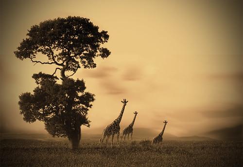 Ria's Giraffe's v2