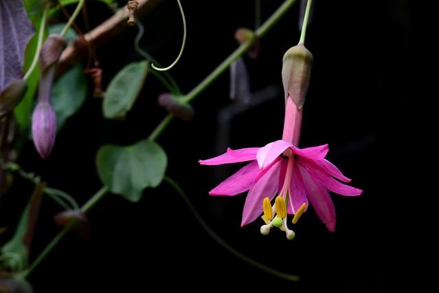 Passiflora luzmarina