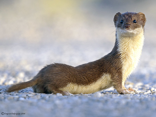 Mustela nivalis ( least weasel ) Doninha