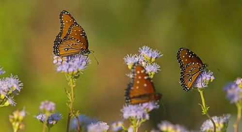 queenbutterfly butterfly mariposa mariposareina danausgilippus insect insecto nature wildlife fauna naturaleza
