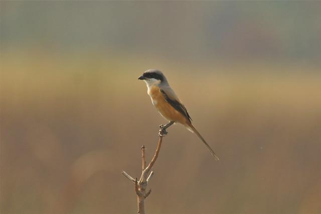 Grey-backed Shrike, Kaziranga NP, India