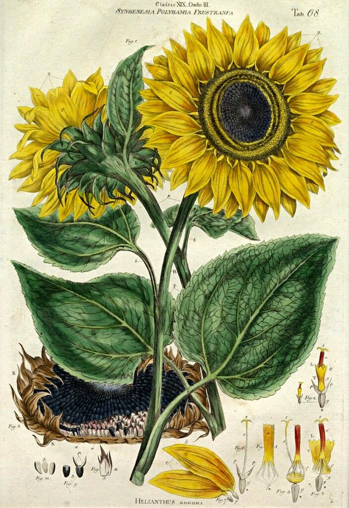 Sunflower (1777)