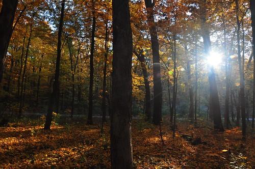 autumn trees light sun color fall leaves sunshine yellow forest woods shadows flare sunburst trunks maples starburst