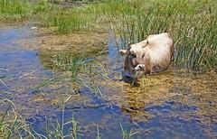 Greece, Macedonia, small Prespa lake, cow grazing in the wetland