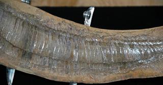 Vinctifer comptoni (fossil fish) (Santana Formation, Lower Cretaceous; northeastern Brazil) 4