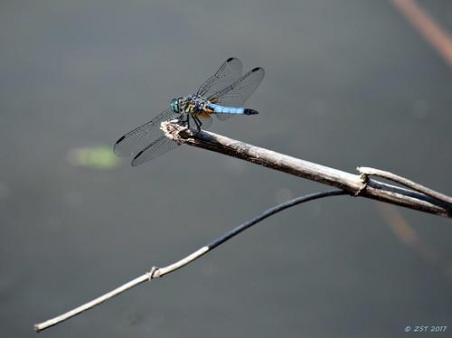 bluedasher containmentpond dragonfly female insect male nature naturewalk pachydiplaxlongipennis sterlingridge texas thewoodlands viewsoftexas zeesstof