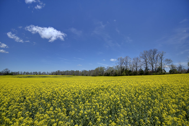Rapeseed field, White County, Tennessee