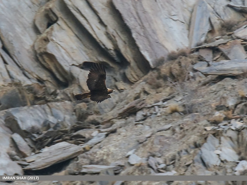 Golden Eagle (Aquila chrysaetos) | by gilgit2