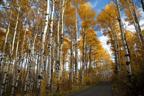 autumn fall leaves gold leaf aspen alpineloop quaking americanforkcanyon quakie
