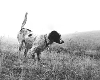 Hunting dog in the field - Florida | by State Library and Archives of Florida