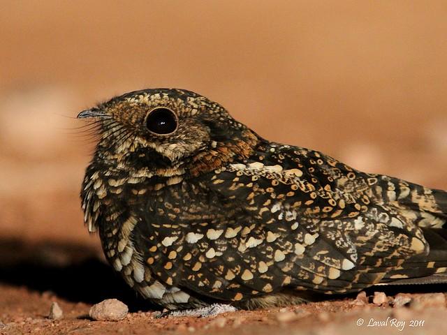 1.06715 Engoulevent à traîne (femelle) / Macropsalis forcipata / Long-trained Nightjar