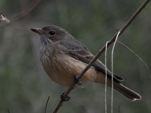 Female Rufous Whistler at Tomato Lake 22-09-2014 | by WA47