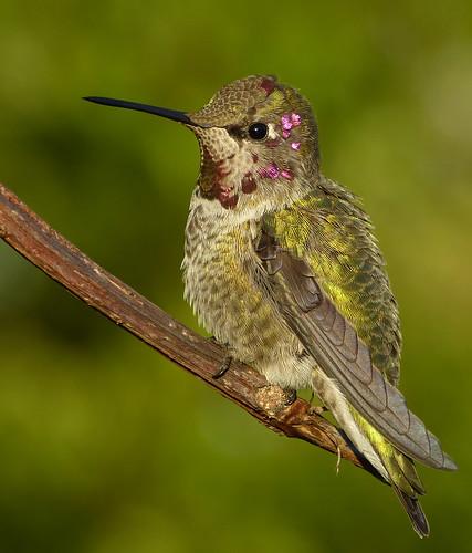 anna hummingbird annas juvenile annashummingbird calypteanna calypte