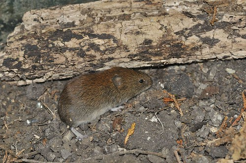 Bank Vole | by markhows