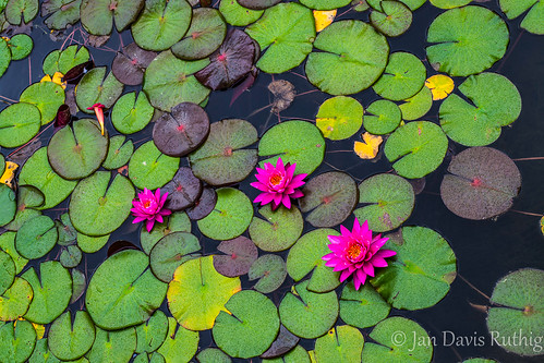 MI Grand Rapids - Meijer Gardens WaterLily-6124 | by Jan Davis Ruthig