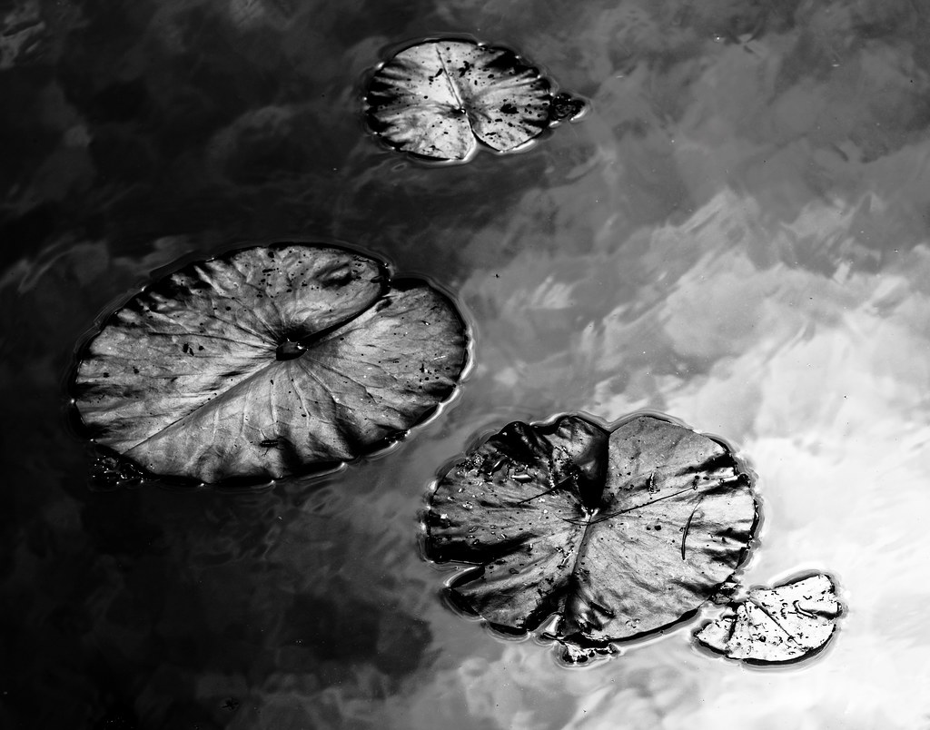 Water Lily pads in black and white