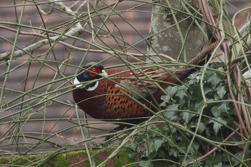 Pheasant (Phasianus colchicus) | by Deanster1983 who's mostly off