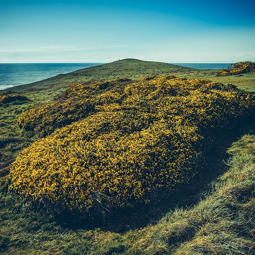 The scent of coconut permeates the air! One of the greatest pleasures at this time of year. My favourite spot to enjoy the annual outburst of Gorse is Pentire Head. Where's yours? #cornwall #gorse #pentire #newquay #nature #nature_perfection #yellow #spri | by Play of light