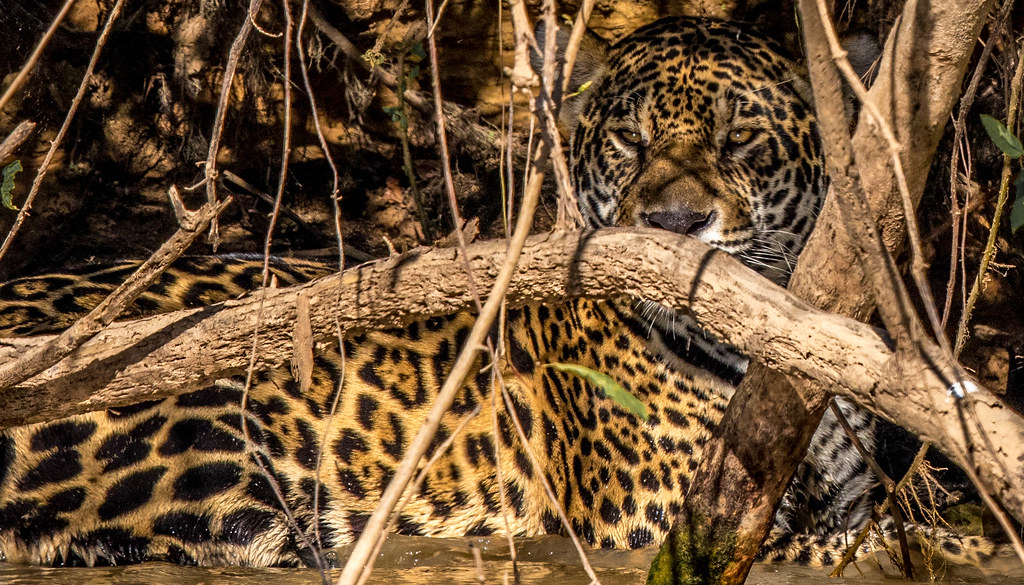 Jaguar watching from cover, Rio Cuiaba, Mato Grosso, Brazil