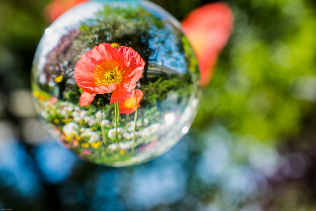 A Poppy in the Glass Ball