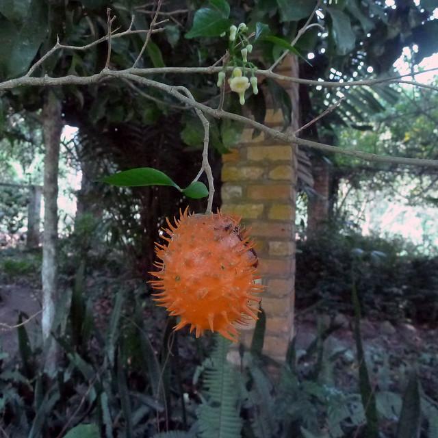 Tabernanthe elliptica (Stapf) Leeuwenb. (APOCYNACEAE)