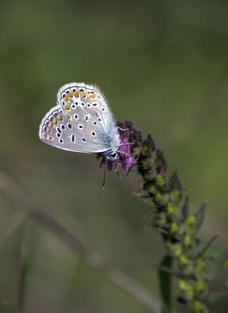 Голубянка икар / Common Blue / Polyommatus icarus / Икарова синевка / Hauhechel-Bläuling