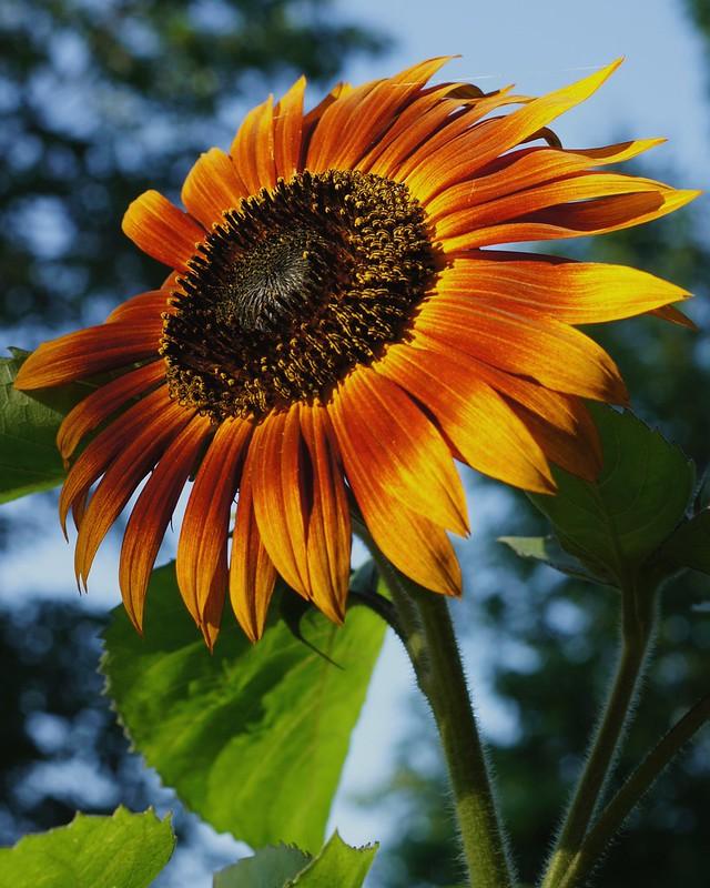 Sun~Fire~Flower