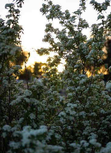 flowers sunset sun plant bush dusk sony blossoms sigma australia newsouthwales goldenlight wauchope lerps sonyalphadslr sigma1850mmf28exdcmacro sonyalphaa77v daniellerps