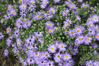 Fall Asters | by DrPhotoMoto