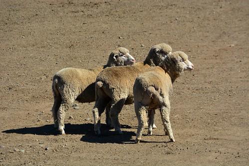 Sheep Dog Trials Drama: The Sheep | by sonstroem