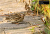 Japanese Quail (Coturnix japonica) by Dave 2x