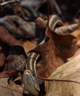 Mating pair of ribbon snakes (Thamnophis sauritus) | by phl_with_a_camera1