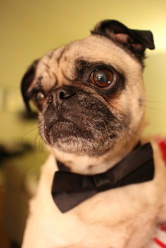 Dapper Dog | by brendangates