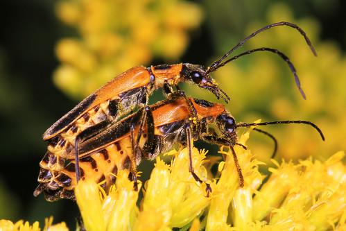 Goldenrod Soldier Beetle - Chauliognathus pensylvanicus, Meadowood Farm SRMA, Mason Neck, Virginia | by judygva