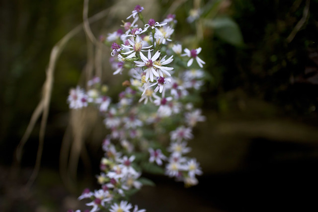 Symphyotrichum cordifolium, Burgess Falls SP, White County, Tennessee