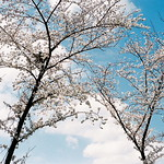 crow and blossoms