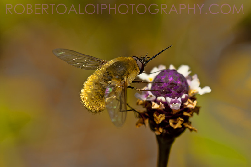 It's a bee?... It's a fly? No, It's a bee fly!