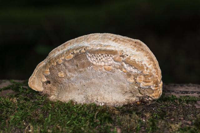 Daedalea quercina - Dédalée du chêne