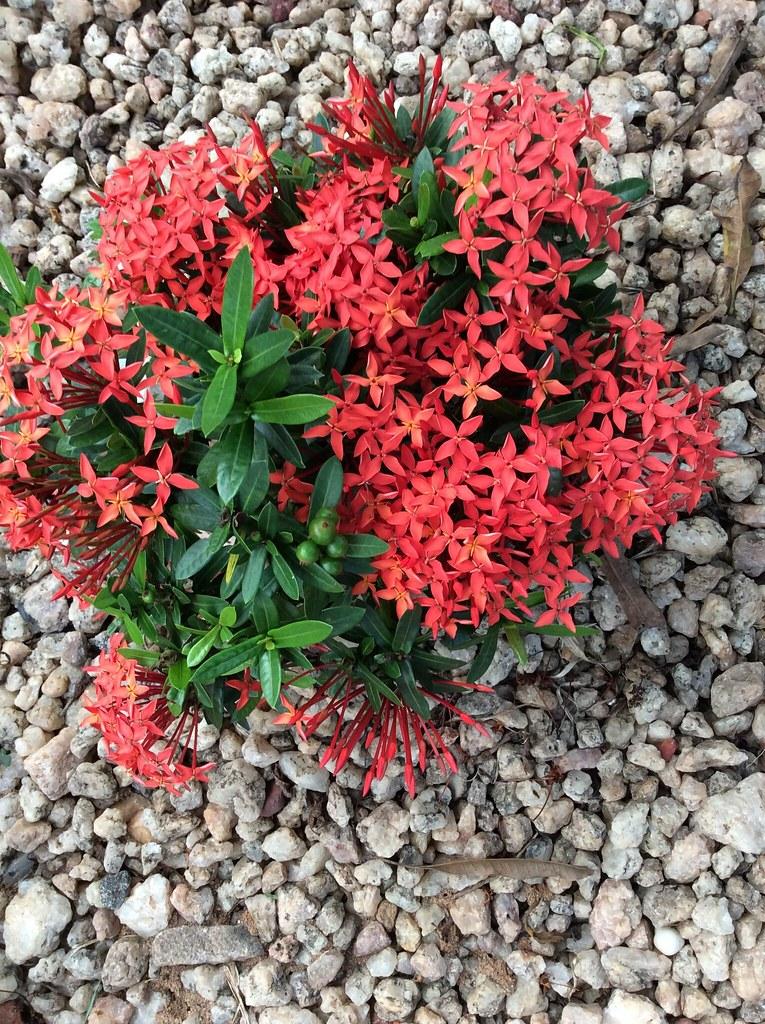 Beautiful red ixora flowers. -