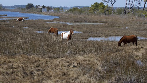 Assateague Island Ponies | by jquill70