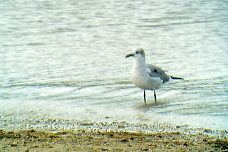 Laughing Gull, Yellow Creek State Park, 10/14/2014 | by Marg Higbee