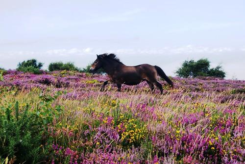 Exmoor Pony in Heather | by Exmoor National Park