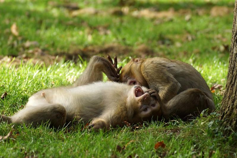 2 playful monkeys, pt.2 - Barbary Macaques - Berberaffen