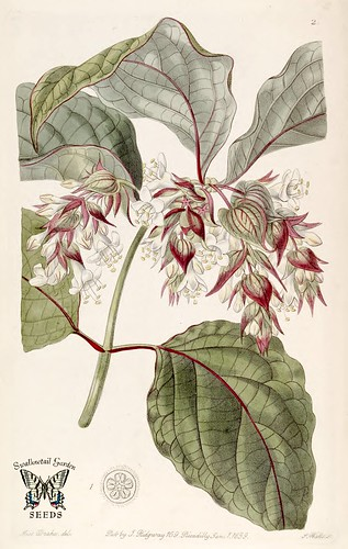 Beautiful Leycesteria. Leycesteria formosa. Edwards's Botanical Register vol. 25 (1839)