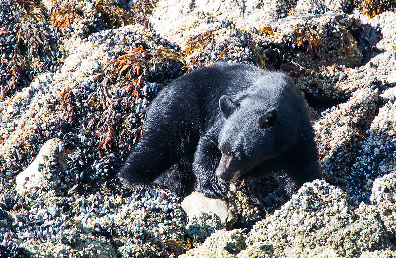 Black bear near Tofino (Canada)
