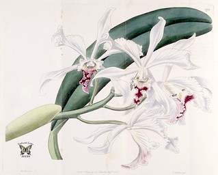 Cattleya crispa. The Botanical Register vol. 14 (1828)