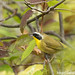 Common Yellowthroat by Dave Blinder