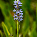 Pickerelweed - Photo (c) Tom Potterfield, some rights reserved (CC BY-NC-SA)
