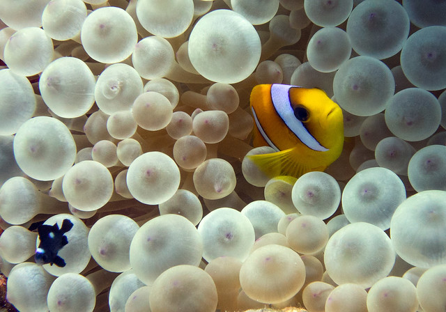 Red Sea Anemonefish, Amphiprion bicinctus, Ras Mohammad, Red Sea1s
