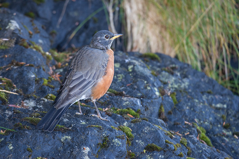 American Robin on Vancouver Island